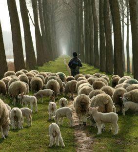 sheep-hear-shepherd