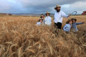 Ultra-Orthodox Jews follow an ancient Biblical command and harvest wheat with a hand sickle in a field near the central Israeli town of Modi'in.