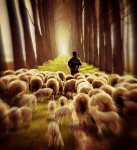 SheepFollowingShepherd