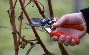 pruning a vine
