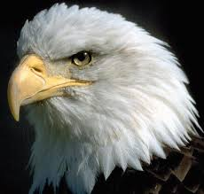 vigilance eagle