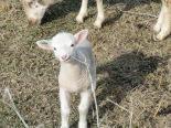 Lamb newborn