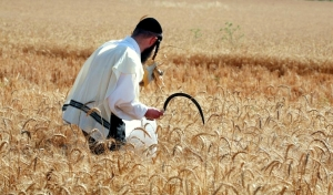 Hand-harvesting wheat for Passover in Israel