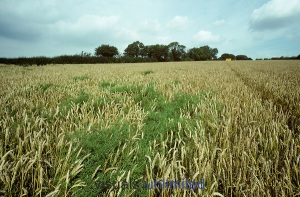 Cleavers (Galium aparine) green weeds in a ripe wheat crop, Hampshire.
